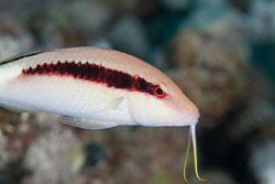 BD-120425-Marsa-Alam-6489-Parupeneus-forsskali-(Fourmanoir---Guézé.-1976)-[Red-Sea-goatfish].jpg
